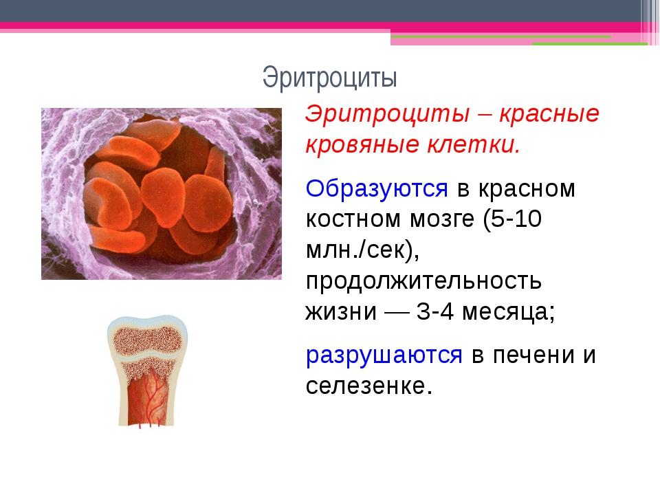 Эритроциты Эритроциты – красные кровяные клетки. Образуются в красном костном...