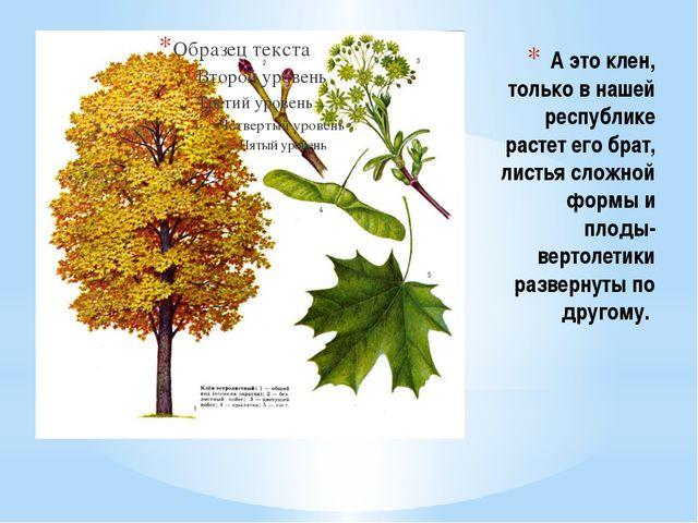 А это клен, только в нашей республике растет его брат, листья сложной формы и...