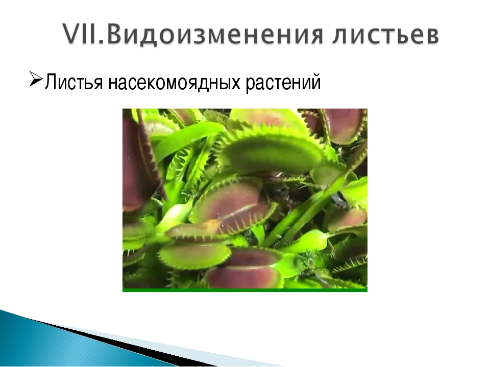 Листья насекомоядных растений