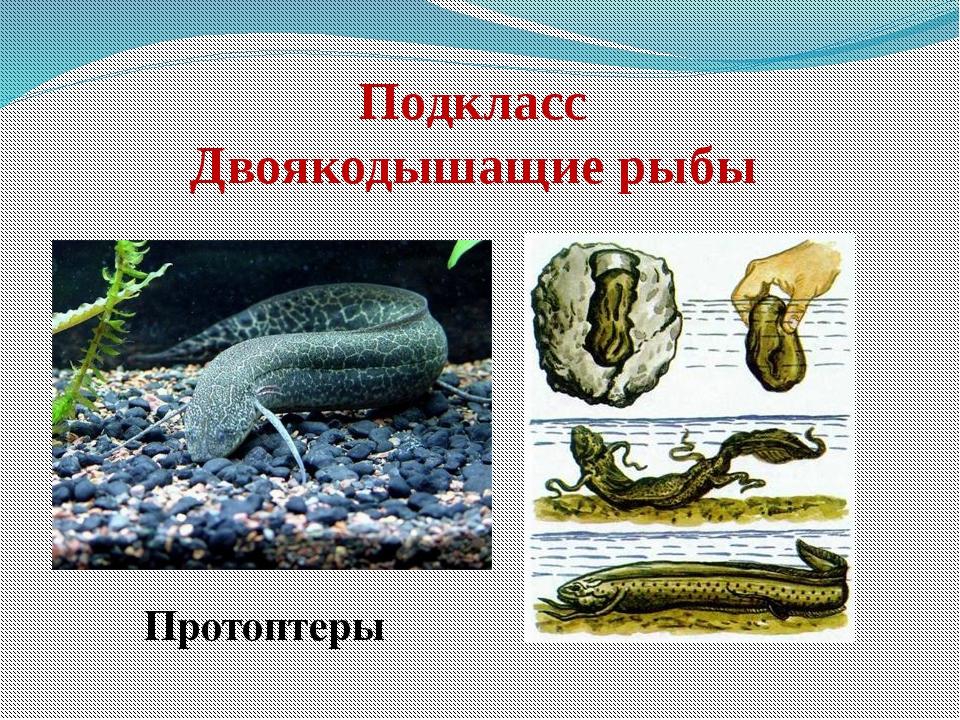 Подкласс Двоякодышащие рыбы  Протоптеры