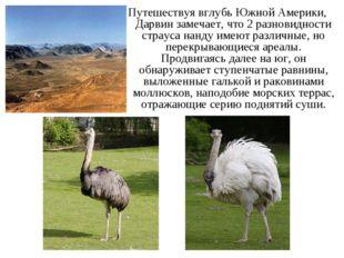 Путешествуя вглубь Южной Америки, Дарвин замечает, что 2 разновидности страус