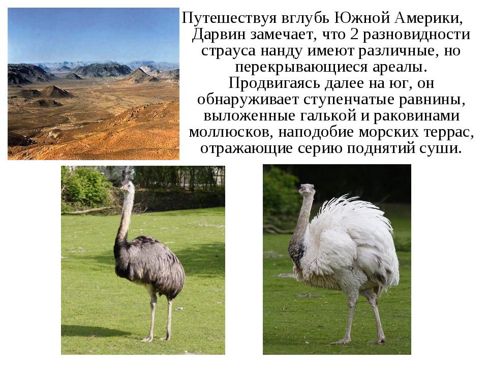 Путешествуя вглубь Южной Америки, Дарвин замечает, что 2 разновидности страус...