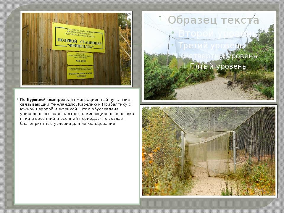 ПоКуршской косепроходит миграционный путь птиц, связывающий Финляндию, Кар...