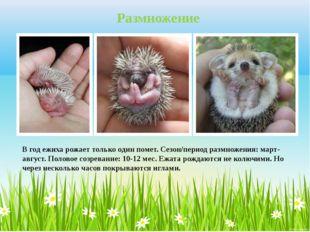 В год ежиха рожает только один помет. Сезон/период размножения: март-август.