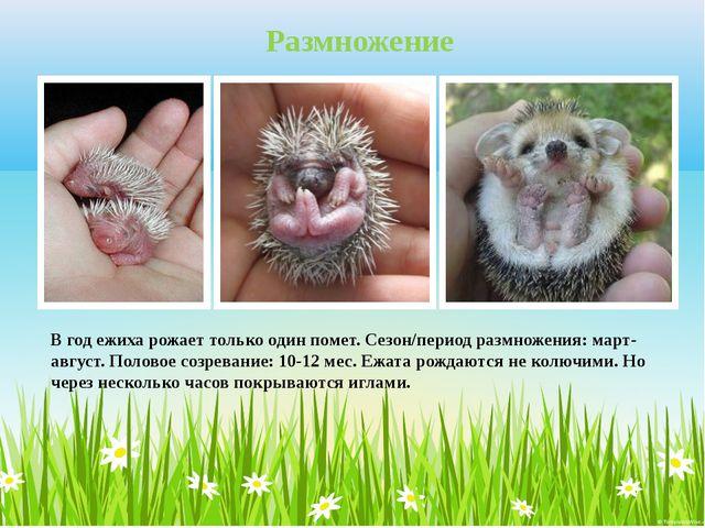 В год ежиха рожает только один помет. Сезон/период размножения: март-август....