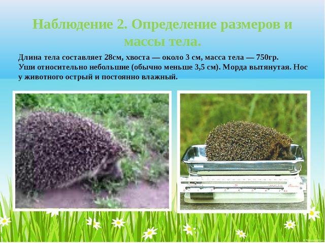 Длина тела составляет 28см, хвоста — около 3 см, масса тела — 750гр. Уши отн...