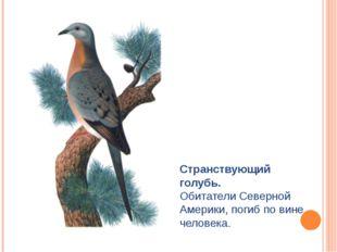 Странствующий голубь. Обитатели Северной Америки, погиб по вине человека.