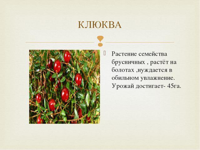КЛЮКВА Растение семейства брусничных , растёт на болотах ,нуждается в обильно...