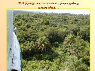 В Африке много пальм: финиковых, кокосовых… п