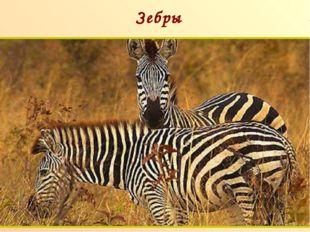 Зебры п