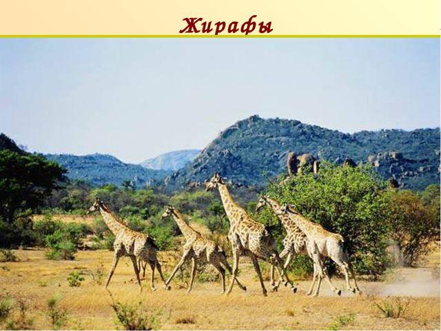 Жирафы п