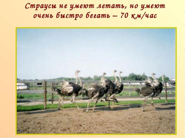 Страусы не умеют летать, но умеют очень быстро бегать – 70 км/час п