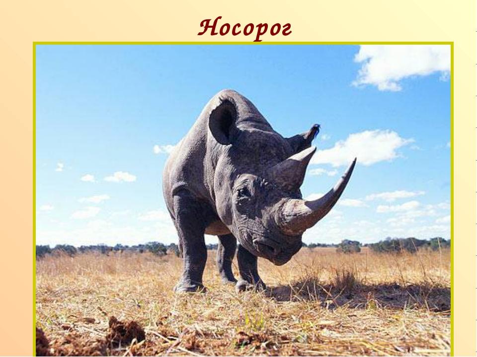 Носорог п