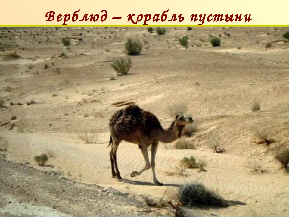 Верблюд – корабль пустыни п
