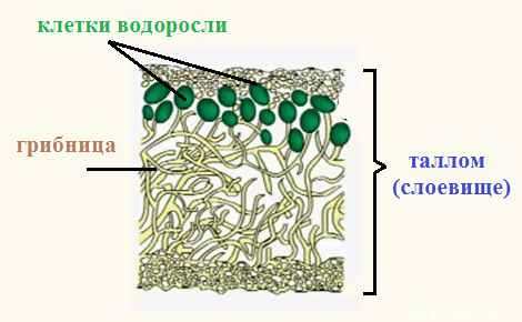 C:\Users\Андрей\Downloads\stroenie-lishajnika.png