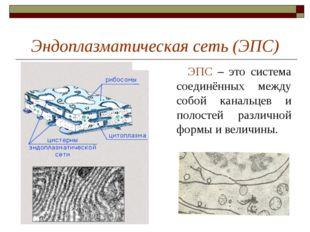 Эндоплазматическая сеть (ЭПС) ЭПС – это система соединённых между собой канал