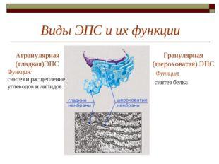 Виды ЭПС и их функции Гранулярная (шероховатая) ЭПС Функция: синтез белка Агр
