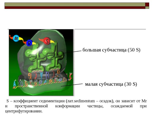большая субчастица (50 S) малая субчастица (30 S) S – коэффициент седиментаци...