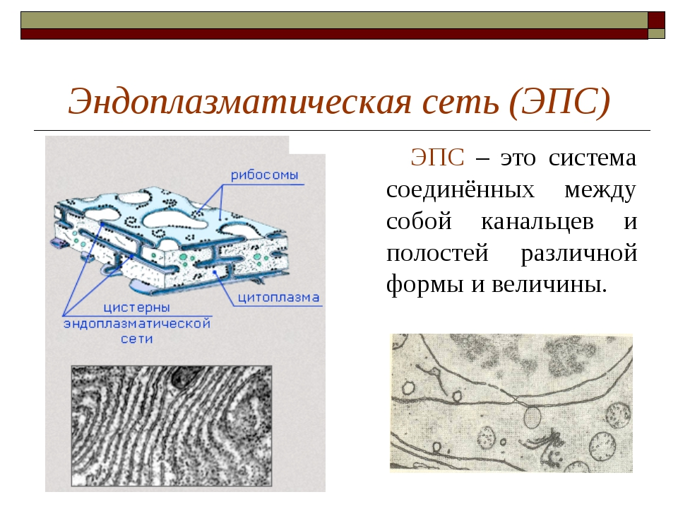 Эндоплазматическая сеть (ЭПС) ЭПС – это система соединённых между собой канал...