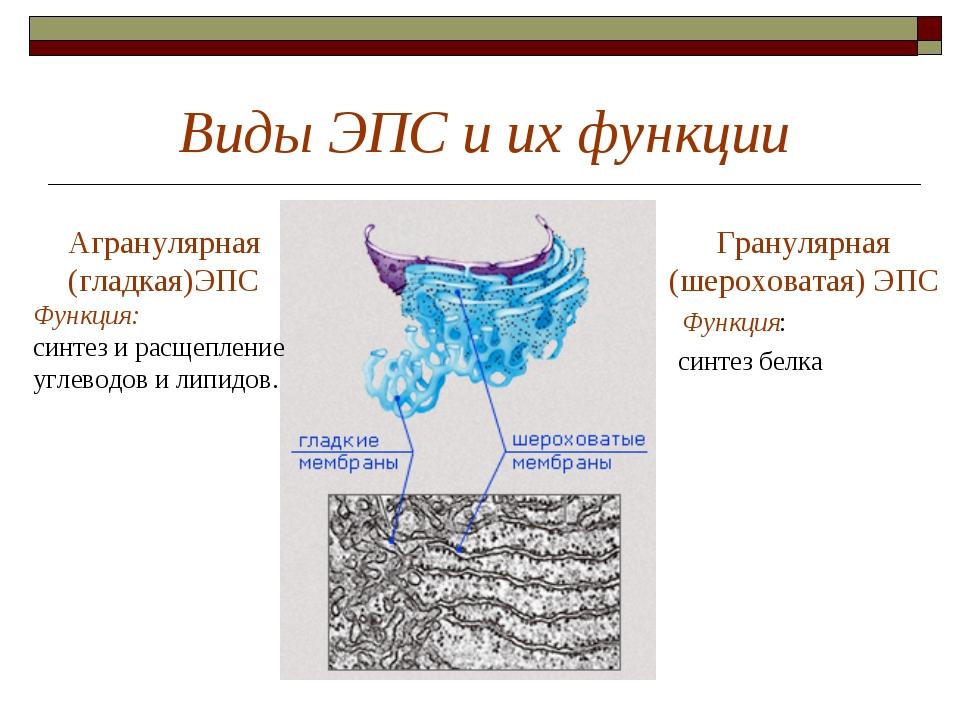 Виды ЭПС и их функции Гранулярная (шероховатая) ЭПС Функция: синтез белка Агр...