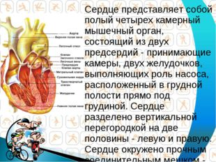 Сердце представляет собой полый четырех камерный мышечный орган, состоящий из