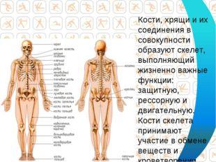 Кости, хрящи и их соединения в совокупности образуют скелет, выполняющий жизн