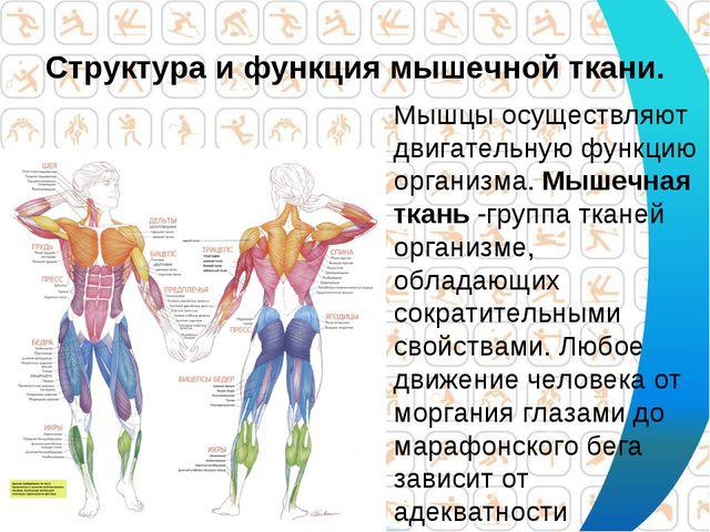 Структура и функция мышечной ткани. Мышцы осуществляют двигательную функцию о...