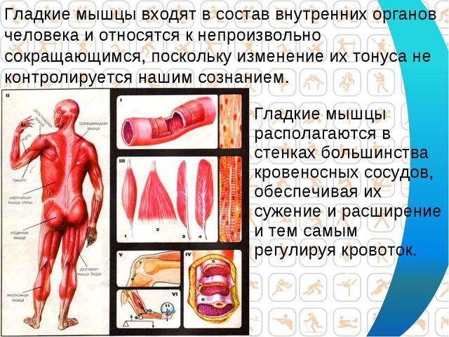 Гладкие мышцы располагаются в стенках большинства кровеносных сосудов, обеспе...