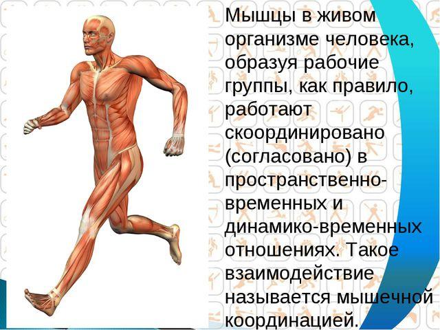 Мышцы в живом организме человека, образуя рабочие группы, как правило, работа...