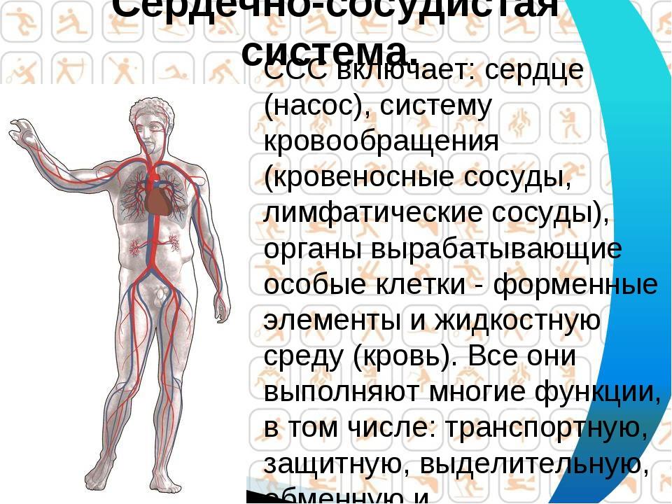 Сердечно-сосудистая система. ССС включает: сердце (насос), систему кровообращ...
