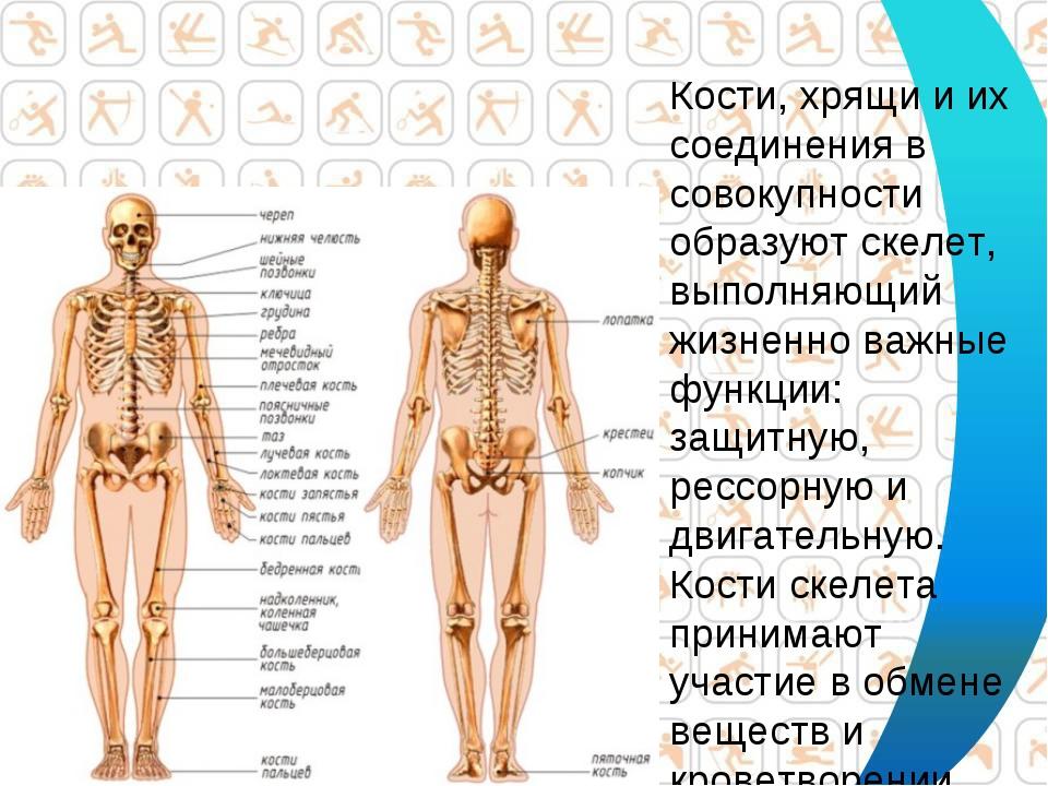 Кости, хрящи и их соединения в совокупности образуют скелет, выполняющий жизн...