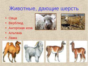 Животные, дающие шерсть Овца Верблюд Ангорская коза Альпака Лама