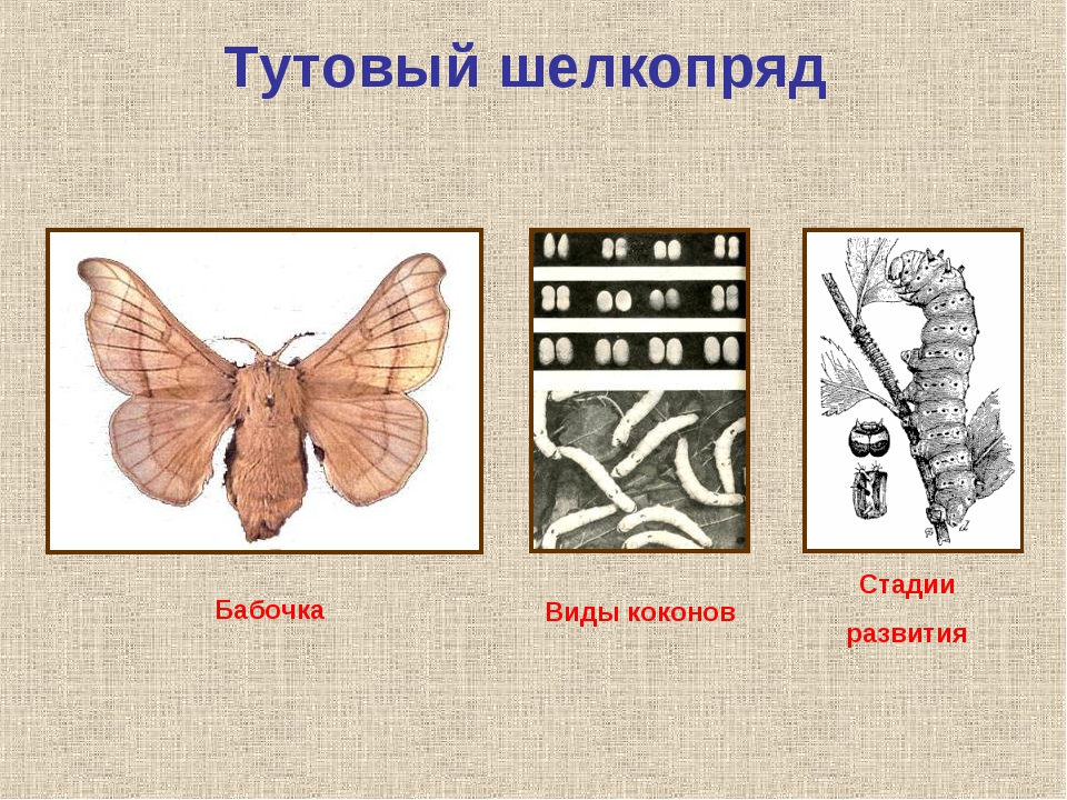 Тутовый шелкопряд Бабочка Стадии развития Виды коконов