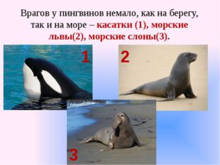 Врагов у пингвинов немало, как на берегу, так и на море – касатки (1), морски