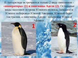 В Антарктиде встречаются только 2 вида пингвинов - «императоры» (1) и пингвин