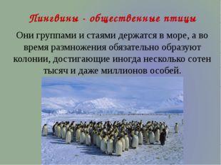 Пингвины - общественные птицы Они группами и стаями держатся в море, а во вре