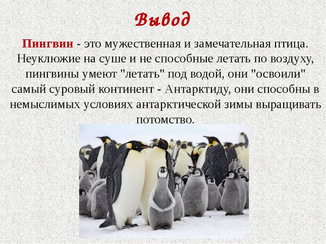 Вывод Пингвин - это мужественная и замечательная птица. Неуклюжие на суше и н...