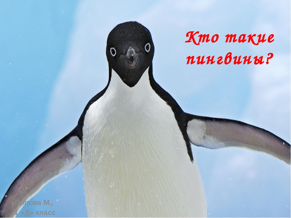 Кто такие пингвины? Попова М., 1 «Д» класс