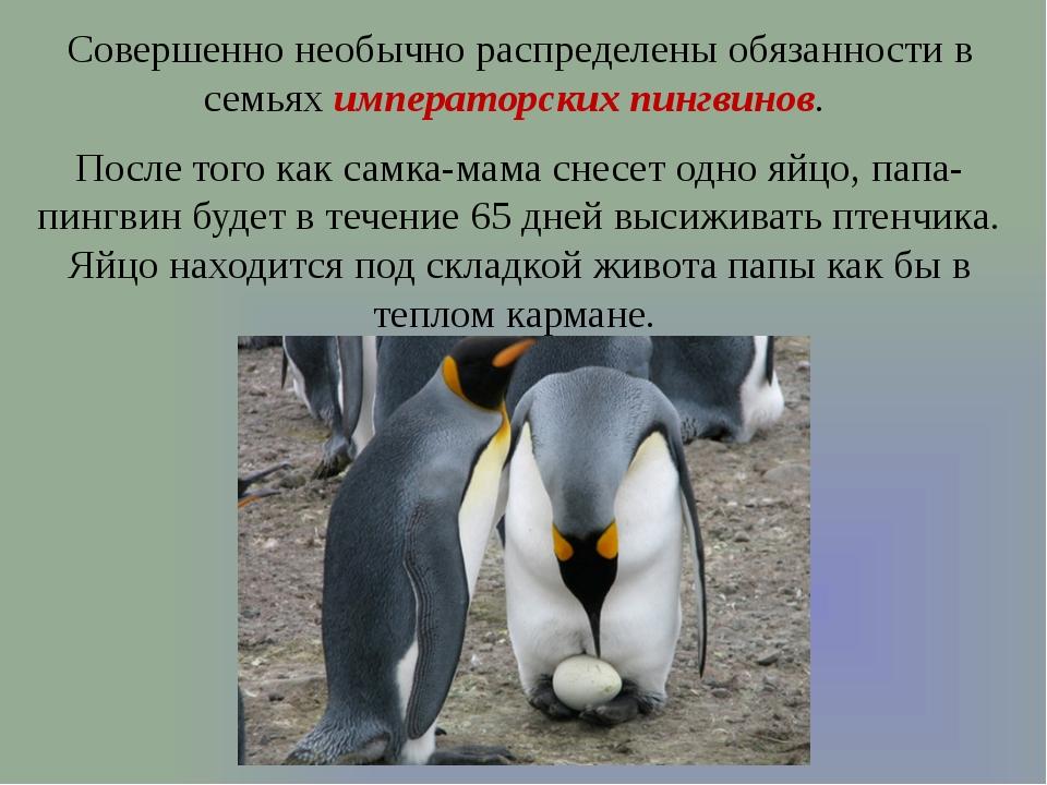 Совершенно необычно распределены обязанности в семьях императорских пингвинов...