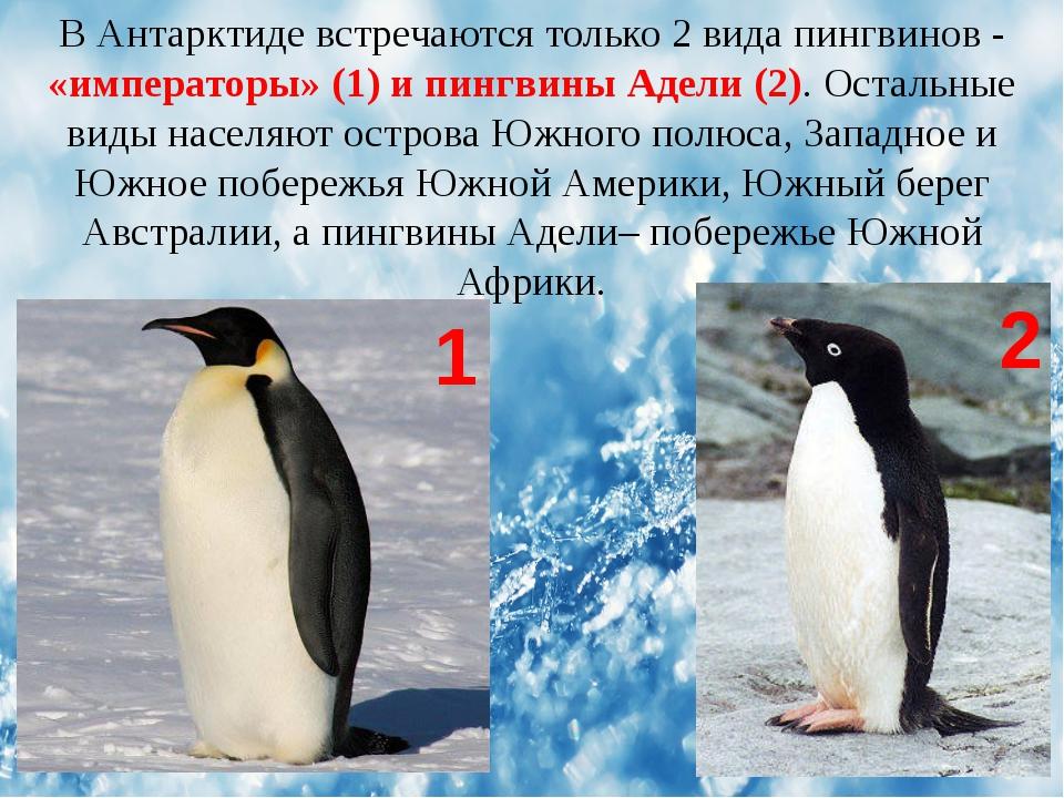 В Антарктиде встречаются только 2 вида пингвинов - «императоры» (1) и пингвин...