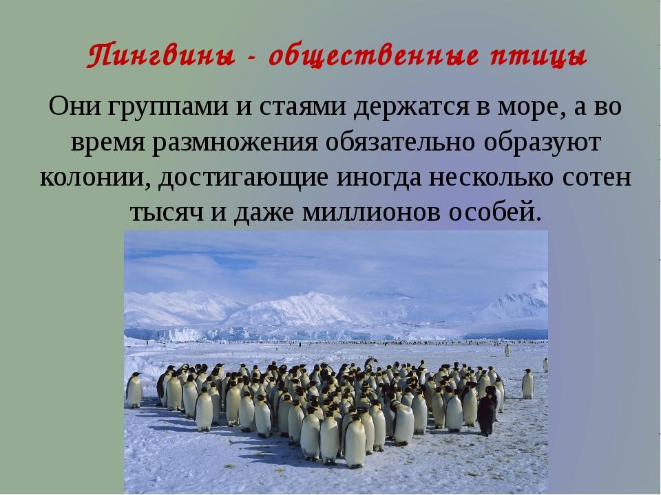 Пингвины - общественные птицы Они группами и стаями держатся в море, а во вре...