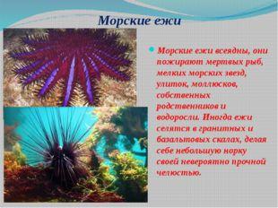 Морские ежи Морские ежи всеядны, они пожирают мертвых рыб, мелких морских зве
