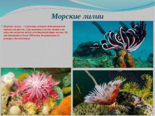 Морские лилии Морские лилии — существа, которые действительно похожи на цвето