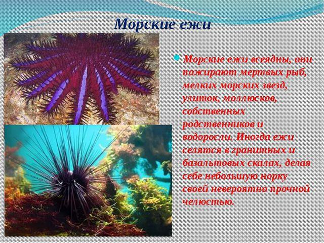 Морские ежи Морские ежи всеядны, они пожирают мертвых рыб, мелких морских зве...