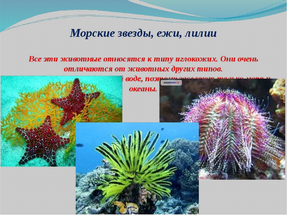 Морские звезды, ежи, лилии Все эти животные относятся к типу иглокожих. Они...