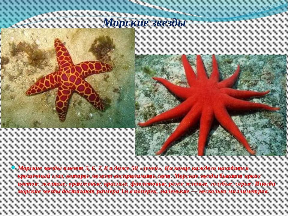 Морские звезды Морские звезды имеют 5, 6, 7, 8 и даже 50 «лучей». На конце ка...