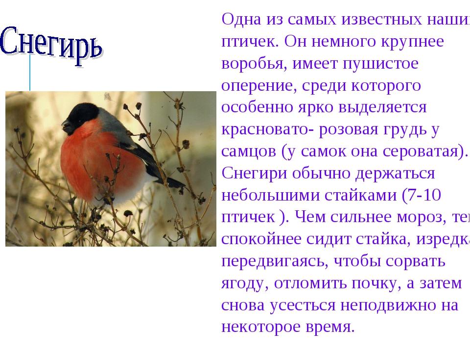 Одна из самых известных наших птичек. Он немного крупнее воробья, имеет пушис...