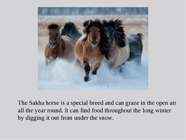 The Sakha horse is a special breed and can graze in the open air all the year...