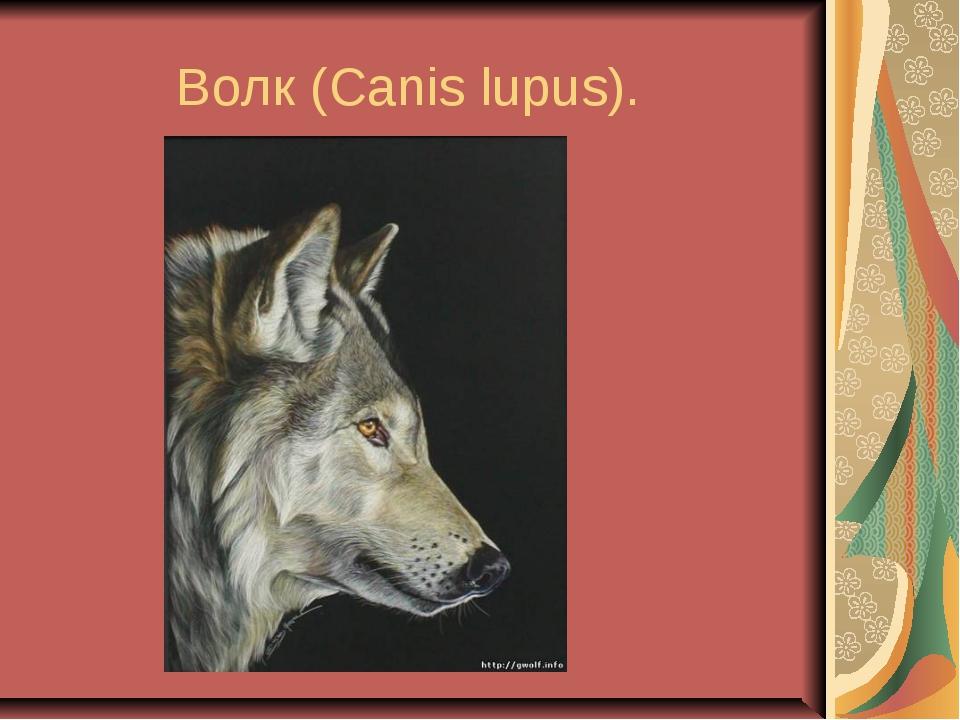 Волк (Canis lupus).
