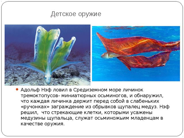 Детское оружие Адольф Нэф ловил в Средиземном море личинок тремоктопусов- мин...